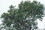 Starlings, Mynas and Bristlehead