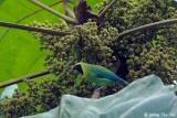 Ioras, Leafbirds and Fairy Bluebirds