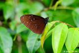 (Euploea camaralzeman) The Malayan Crow