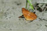 (Cirrochroa emalea) Malayan Yeoman