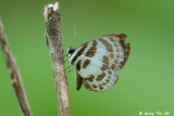 (Discolampa ethion)  Banded Blue Pierrot