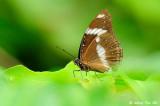 (Hypolimnas bolina bolina) Great Egg-fly