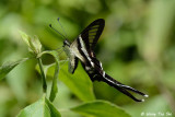 (Lamproptera curius) White Dragontail
