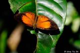 (Mycalesis patiana) Eliot's Bush-brown