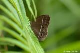 (Mycalesis mineus)The Dark Brand Bush-brown