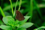 (Mycalesis perseus cepheus) Dingy Bush-brown