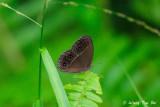 (Orsotriaena medus)Dark Grass-brown
