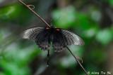 (Papilio memnon) Great Mormon ♂