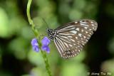 (Parantica algeoides aldeoides) Dark Glassy Tiger