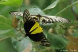 (Troides amphrysus) Malay Birdwing