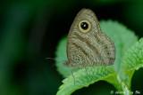 (Ypthima fasciata)Common Six-Ring
