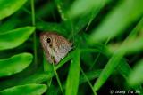 (Ypthima pandocus) Common Three-Ring