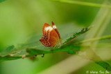 (Abisara geza)Spotted Palm Judy