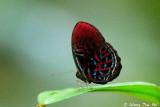 (Paralaxita orphana)Banded Red Harlequin