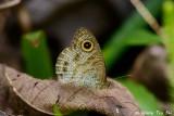 (Ypthima baldus)Common Five-Ring