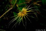 (Bulbophyllum vaginatum)