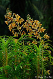 (Grammatophyllum speciosum)  Tiger Orchid