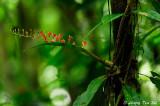 (Liparis latifolia)