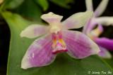 (Phalaenopsis modesta)