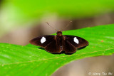 (Celaenorrhinus ficulnea)  Velvet Flat