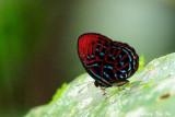 (Paralaxita damajanti)Malayan Red Harlequin