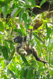 (Hylobates muelleri)  Bornean Gibbon