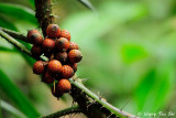 Ratan Fruits