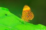 Callidula sp.