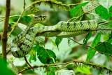(Parias sumatranus) Sumatran Pit-viper