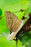 (Amathuxidia amythaon)  Kohinoor