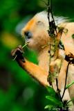 (Presbytis rubicunda)Maroon Langur