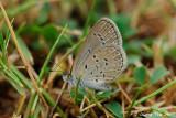 (Zizina otis) Lesser Grass Blue
