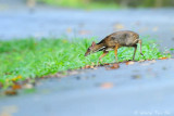 (Tragulus napu)Greater Mouse-deer