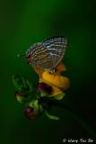 (Jamides celeno) Common Caerulean