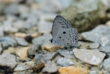 (Acytolepis puspa) Common Hedge Blue