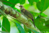 Barbets and Honeyguide