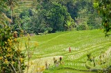Jatiluwih Rice Terraces D700_21004 copy.jpg
