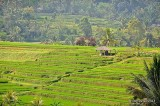 Jatiluwih Rice Terraces D700_21015 copy.jpg