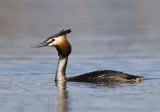 Skäggdopping - Great crested grebe (Podiceps cristatus)