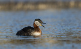 Gråhakedopping - Red-necked grebe (Podiceps grisegena)