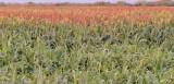 Desert Irrigation, Gila Bend, Arizona