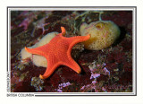 257 Vermilion star and sponge (Mediaster aequalis), Diane's Drift, Tahsis Inlet