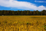 A Yellow Sea of Soybeans