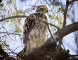 The Cooper Hawks