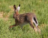 FälthareEuropean hare(Lepus europaeus)