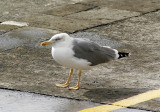 MedelhavstrutYellow-legged Gull (Atlantic)(Larus michahellis atlantis)