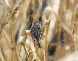 KanariefågelIsland Canary(Serinus canaria)
