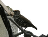 Stare Azores Common Starling(Sturnus vulgaris granti)