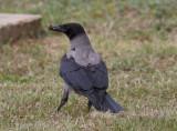 GråkråkaHooded Crow(Corvus cornix)