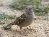 GråsparvHouse Sparrow(Passer domesticus)